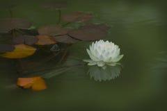 Un beau blanc waterlily ou fleur de lotus dans l'étang Photo libre de droits