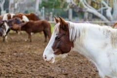 Un beau Brown et un cheval blanc à une ferme Le fond est au foyer très mou et inclut plusieurs autres chevaux en vue photographie stock