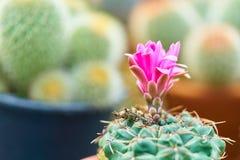 Un beau cactus dans le pot au jardin, aux succulents et aux fleurs de floraison de cactus Photographie stock libre de droits