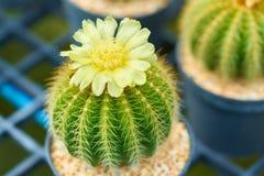 Un beau cactus dans le pot au jardin, centre sélectif de cactus formé rond vert avec les fleurs jaunes et épines pointues Photographie stock
