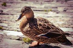 Un beau canard pose près du lac Como en Italie Profondeur de zone Image stock