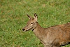 Un beau cerf commun dans le pré vert Photographie stock