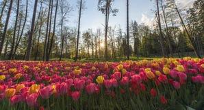 Un beau champ de tulipe dans une forêt photos stock