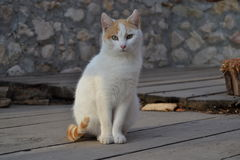 Un beau chat Photographie stock libre de droits