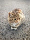 Un beau chat adulte seul de mère avec les yeux verts se repose sur la route goudronnée et regarde loin image libre de droits