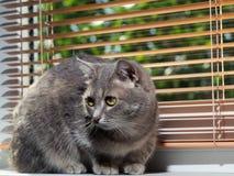 Un beau chat aux yeux verts gris avec les rayures noires et blanches se trouve sur le rebord de fen?tre et regarde ? partir de la photos libres de droits
