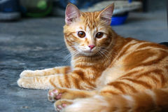 Un beau chat brun Photographie stock