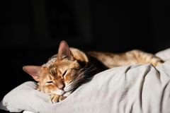 Un beau chat brun du Bengale dormant dans le lit et le lever de soleil de matin brille Photographie stock libre de droits