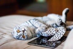Un beau chat de pli d'écossais se trouve à côté d'un jouet et d'un comprimé de Web Un chat est de couleur argent avec les yeux or Images libres de droits