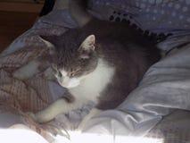 Un beau chat image stock