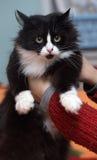 Un beau chat noir et blanc pelucheux aux yeux verts Photo stock
