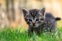 Un beau chaton rayé regardant l'appareil-photo Images libres de droits