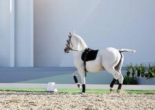 Un beau cheval blanc Images libres de droits