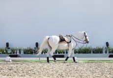 Un beau cheval blanc dans l'arène de sable Image stock