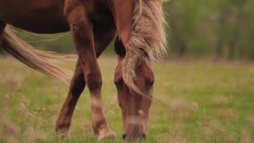 Un beau cheval brun frôle dans un pré et mange l'herbe clips vidéos