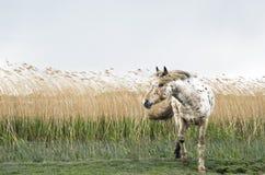 Un beau cheval d'appaloosa Photo stock