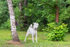 Un beau chien blanc sur une laisse est attaché à un arbre Photos libres de droits