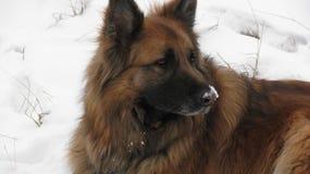 Un beau chien dans la neige Photo libre de droits