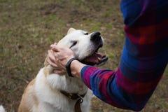 Un beau chien japonais de sourire heureux d'Akita Inu est choyé par un homme dans une chemise de plaid dans les bois sur le fond  photographie stock libre de droits