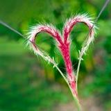 Un beau coeur rouge d'amour de fleur d'herbe Photos stock