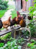 Un beau coq avec des poules marche dans la cour d'une maison de village Les poulets dans la cour se reposent sur le banc et march photographie stock