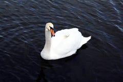 Un beau cygne blanc dans l'eau bleue Photographie stock libre de droits
