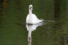 Un beau cygne blanc flotte sur un étang avec de l'eau vert Photos stock