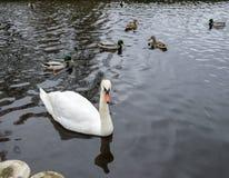 Un beau cygne blanc nage sur un lac ? la soci?t? des canards et des canards image stock