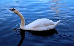 Un beau cygne blanc nageant avec ?l?gance sur les vagues photo stock