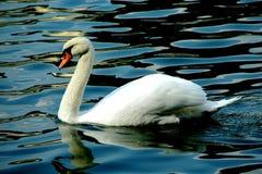 Un beau cygne blanc nageant avec ?l?gance sur les vagues photographie stock libre de droits