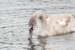 Un beau cygne nage sur un lac photo stock