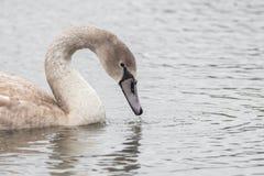 Un beau cygne nage sur un lac image libre de droits