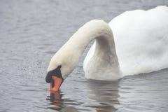 Un beau cygne nage sur un lac photographie stock libre de droits