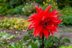 Un beau dahlia de couleur rouge Photos libres de droits