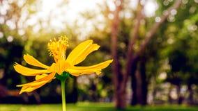 Un beau fond jaune de fleur et de ressort de bokeh de tache floue Photo stock