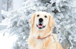 Un beau golden retriever jouant dehors dans la neige froide d'hiver Image libre de droits