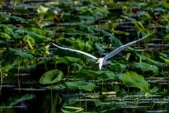 Un beau grand héron blanc en vol parmi Lotus Water Lilies Photos libres de droits