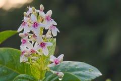 Un beau groupe de fleurs blanches et roses séchant au soleil après une pluie dure dans un jardin thaïlandais luxuriant Image stock