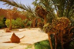 Un beau jardin marocain avec des palmiers de date avec le dat riping image libre de droits