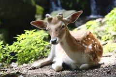 Un beau jeune cerf commun détendez photo libre de droits