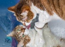 Un beau jeune chat tigré adulte avec les yeux verts et le nez humide de velours brun se repose sur un miroir humide Image libre de droits