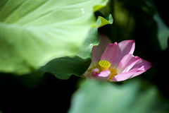 Un beau lotus dans la campagne de la Chine Photos stock