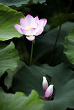 Un beau lotus dans la campagne de la Chine Images stock