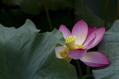 Un beau lotus dans la campagne de la Chine Photographie stock libre de droits