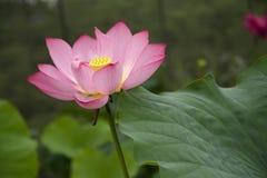 Un beau lotus dans la campagne de la Chine Image libre de droits
