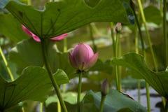Un beau lotus dans la campagne de la Chine Photographie stock