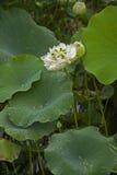 Un beau lotus dans la campagne de la Chine Images libres de droits