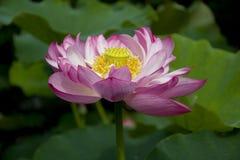 Un beau lotus dans la campagne de la Chine Photo stock
