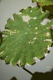 Un beau lotus dans la campagne de la Chine Image stock