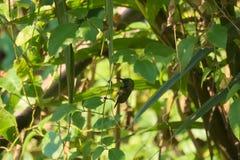 Un beau mâle jaune-s'est gonflé le sunbird soutenu par l'olive, été perché sur un arbre thaïlandais de parc de jardin photo stock